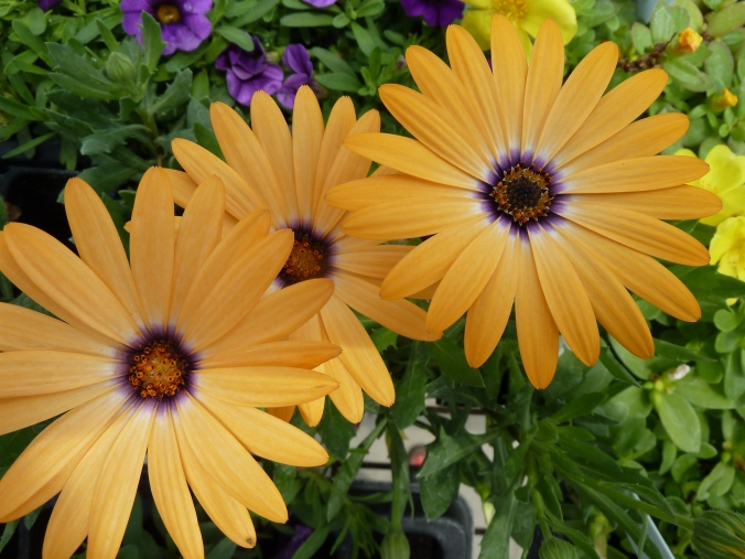 golden-daisy