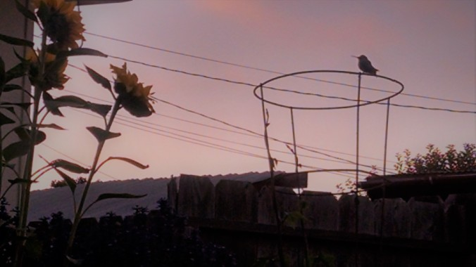 Hummingbird 072017