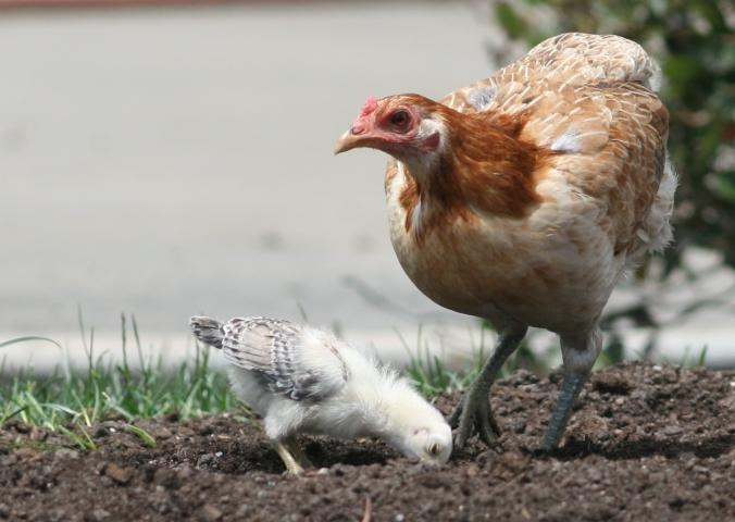 Sakata Chicken
