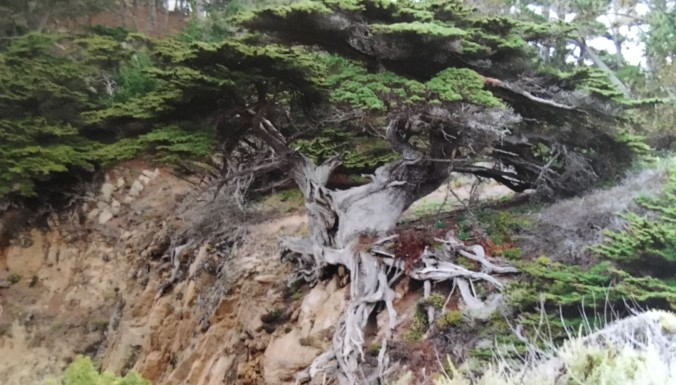 Man of the Trees-Pt Lobos
